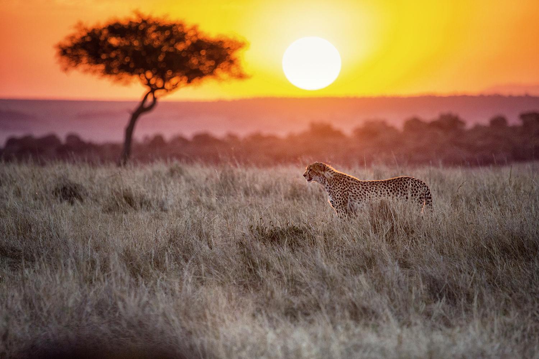 Cheetah in sundown Masai Mara 2-1743