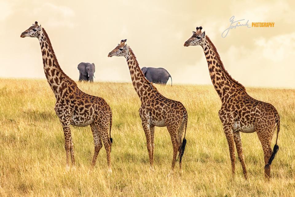 Giraffen-Trio-Giraffes-trio-Masai-Mara-Kenya-