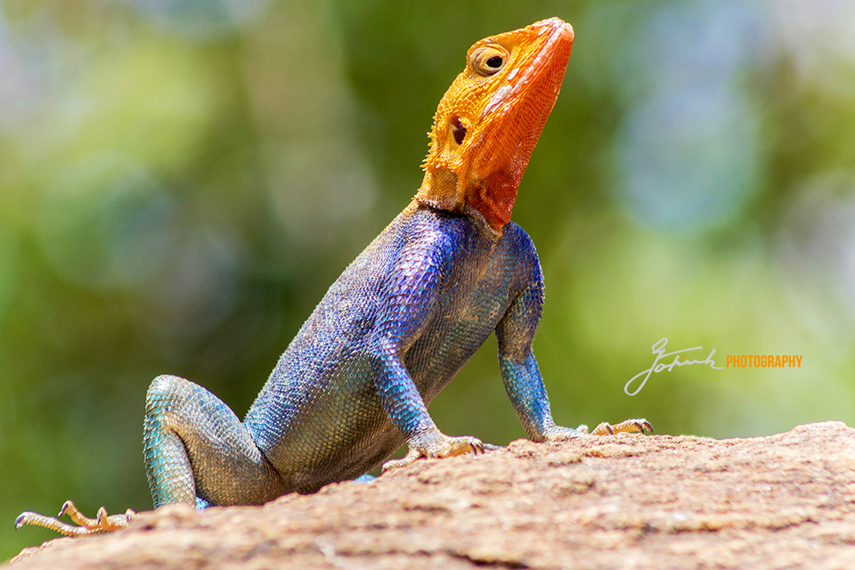 Siedleragame-Männchen-Common-Agama-Tsavo-East-Kenia-960-Jan-15-web-