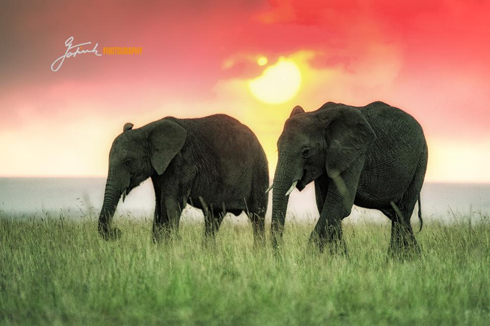 Two-Elephants-in-Sundown-Masai-Mara-Kenya-2918