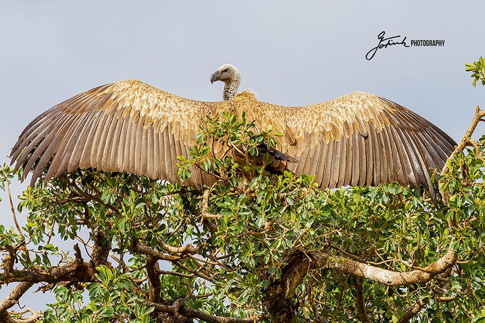 Weißrückengeier-Whie-back-vulture-Masai-Mara-Kenia-