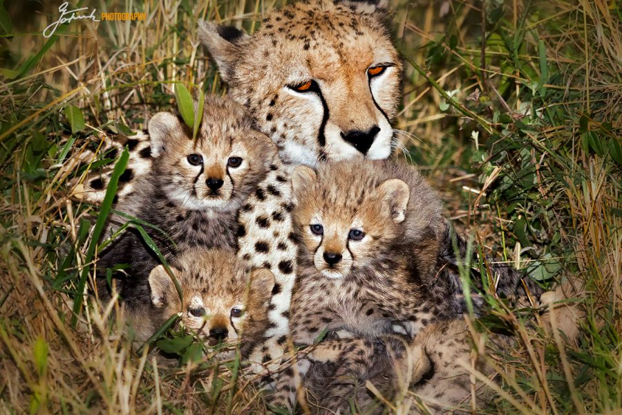 Cheetah with cubs 1a_9685 5.21 aWL