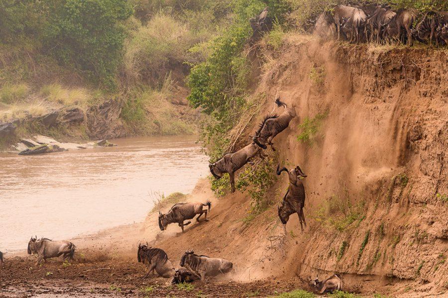 Gnus-Jump-Mara-River-Masai-Mara-Kenia-33681