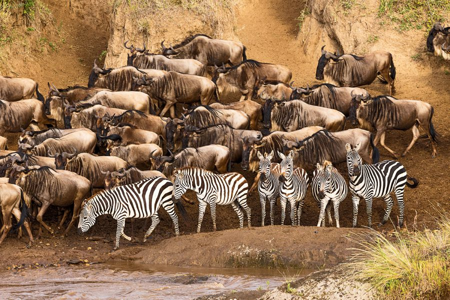 Gnus and Zebras crossing Mara River, Masai Mara, Kenia 1653-12.2.16