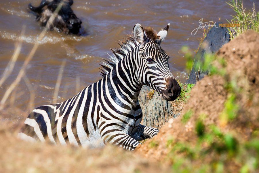 Zebra at Mara River 3731-V 5.21 WL