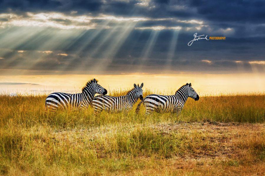 Zebras in savannah near Malaika Camp, Masai Mara 4061 v apr 21 WL